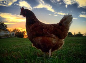 Chicken Sunset - #chickenmath